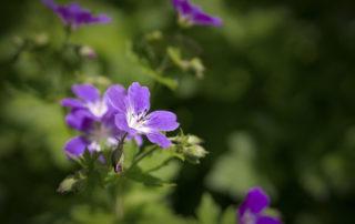 Géranium vivace - plante d'ombre