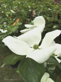Détail de fleur du Cornus toussa Venus de la pépinière Ebert