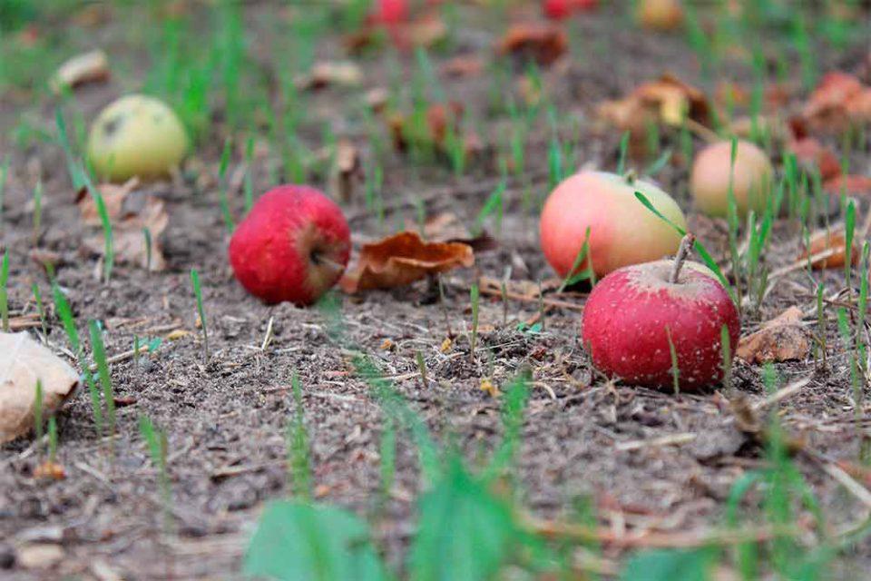 Septembre - pommes mures tombées sur le sol