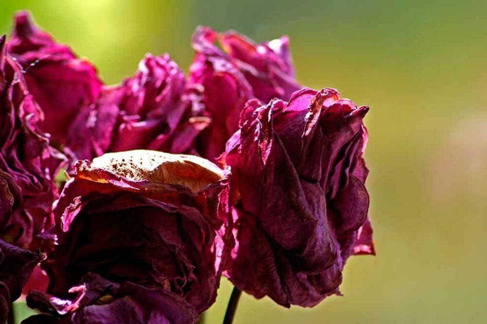 Bouquet de roses fanées de couleur carmin